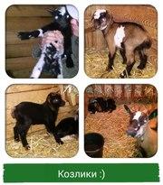Камерунские карликовые козлята